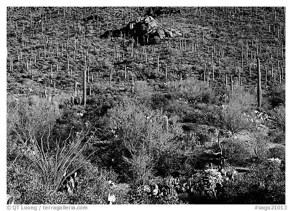 Cactus forest on hillside, Gates pass, morning. Saguaro  National Park (black and white)
