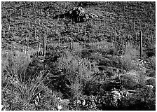 Cactus forest on hillside, Gates pass, morning. Saguaro National Park, Arizona, USA. (black and white)