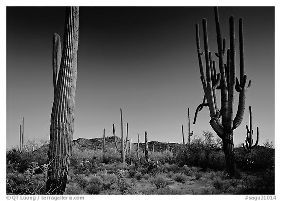 Saguaro cacti, late afternoon. Saguaro  National Park (black and white)