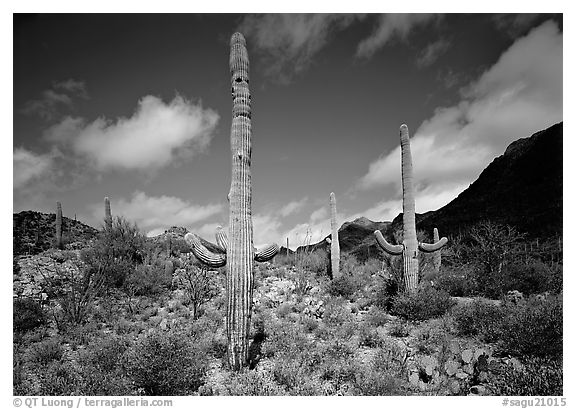 Saguaro cactus forest on hillside, morning, West Unit. Saguaro  National Park (black and white)