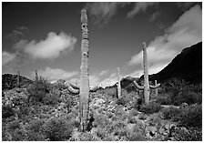 Saguaro cactus forest on hillside, morning, West Unit. Saguaro National Park, Arizona, USA. (black and white)