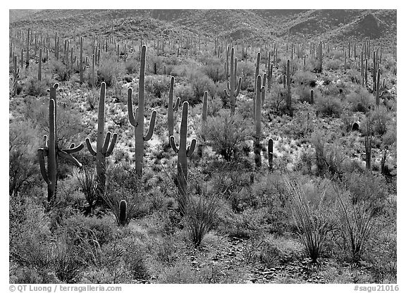 Ocatillo and saguaro cactus in valley. Saguaro  National Park (black and white)