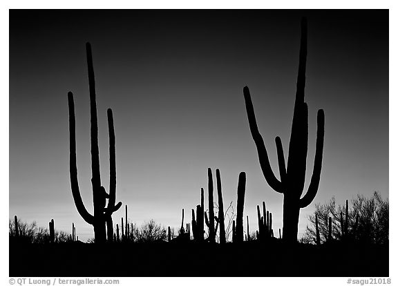 Saguaro cactus silhouettes at sunset. Saguaro  National Park (black and white)