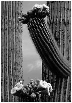 Saguaro cactus in bloom. Saguaro National Park, Arizona, USA. (black and white)
