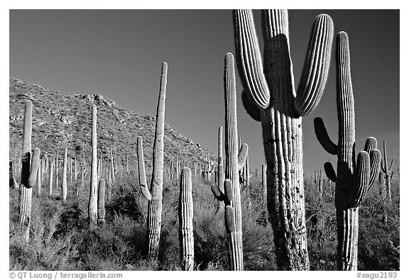 Saguaro cacti forest on hillside, late afternoon, West Unit. Saguaro National Park (black and white)