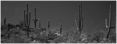 Saguaro cactus on hill under pure blue sky. Saguaro  National Park (Panoramic black and white)