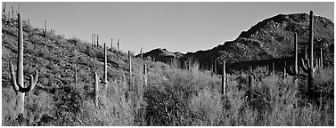 Sonoran desert landscape with sagaruo cactus. Saguaro  National Park (Panoramic black and white)