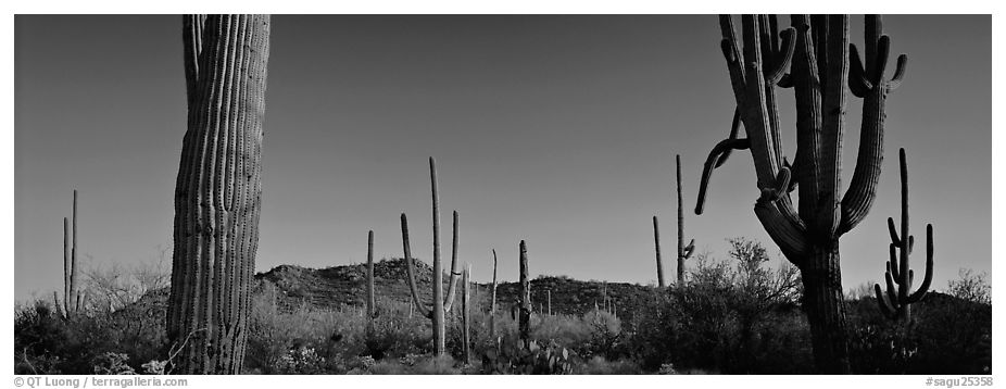 Sonoran desert scenery with cactus. Saguaro National Park (black and white)