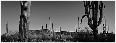 Sonoran desert scenery with cactus. Saguaro National Park (Panoramic black and white)