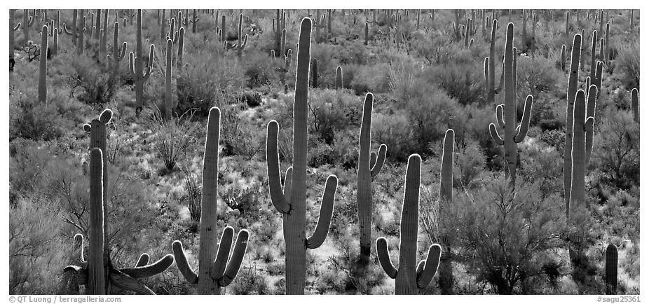 Cactus typical of the Sonoran desert. Saguaro National Park (black and white)