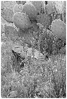 Royal lupine and prickly pear cactus. Saguaro National Park ( black and white)
