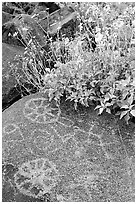 Hohokam petroglyphs and brittlebush on Signal Hill. Saguaro National Park, Arizona, USA. (black and white)