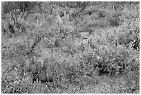 Royal lupine blanketing the desert floor near Signal Hill. Saguaro National Park, Arizona, USA. (black and white)