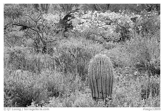 Cactus, royal lupine, and brittlebush. Saguaro National Park (black and white)
