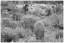 Cactus, royal lupine, and brittlebush. Saguaro National Park, Arizona, USA. (black and white)