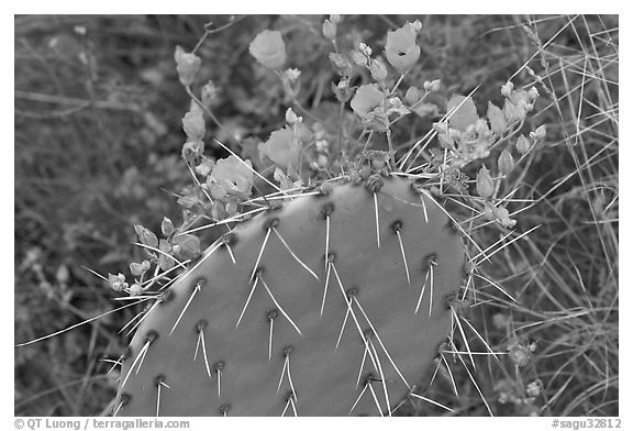 Apricot mellow and prickly pear cactus. Saguaro National Park (black and white)