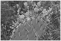 Apricot mellow and prickly pear cactus. Saguaro National Park, Arizona, USA. (black and white)