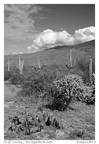 Grassy area near Mica View, Rincon Mountain District. Saguaro National Park (black and white)