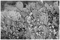 Pink wildflowers and prickly pear cactus. Saguaro National Park ( black and white)