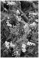 Brittlebush and cactus. Saguaro National Park ( black and white)