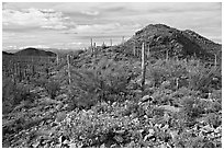 Brittlebush, cactus, and hills, Valley View overlook, morning. Saguaro National Park, Arizona, USA. (black and white)