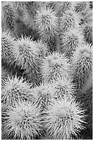 Cholla cactus close-up. Saguaro National Park ( black and white)