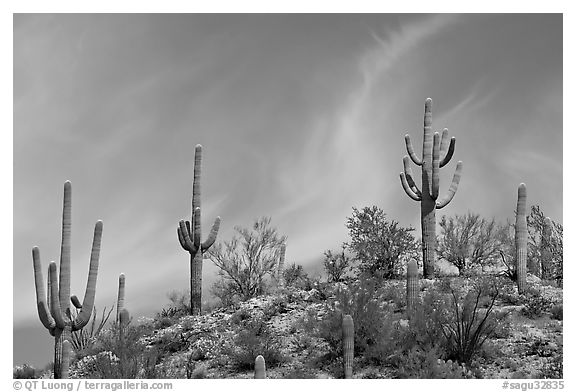 Mature Saguaro cactus (Carnegiea gigantea) on a hill. Saguaro National Park (black and white)