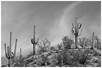 Mature Saguaro cactus (Carnegiea gigantea) on a hill. Saguaro National Park, Arizona, USA. (black and white)