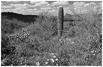 Cactus lupine, and mexican poppies with Panther Peak in the background, afternoon. Saguaro National Park ( black and white)