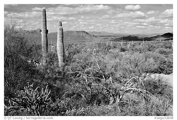 Lush desert with Cactus, mexican poppies, and palo verde near Ez-Kim-In-Zin. Saguaro National Park (black and white)