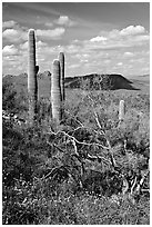 Cactus, mexican poppies, and palo verde near Ez-Kim-In-Zin, afternoon. Saguaro National Park, Arizona, USA. (black and white)