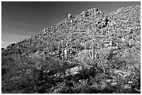 Hillside in spring with desert annual flowers, Hugh Norris Trail. Saguaro National Park, Arizona, USA. (black and white)