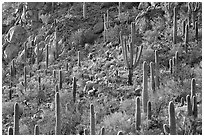 Slope with saguaro cactus forest, Tucson Mountains. Saguaro National Park ( black and white)