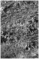 Hikers descending Hugh Norris Trail amongst saguaro cactus, late afternoon. Saguaro National Park, Arizona, USA. (black and white)