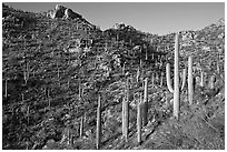 Tall cactus on the slopes of Tucson Mountains, late afternoon. Saguaro National Park ( black and white)