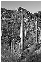 Tall saguaro cactus on the slopes of Tucson Mountains, late afternoon. Saguaro National Park ( black and white)