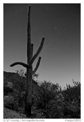 Saguaro cactus at night with stary sky, Tucson Mountains. Saguaro National Park (black and white)
