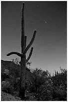 Saguaro cactus at night with stary sky, Tucson Mountains. Saguaro National Park, Arizona, USA. (black and white)