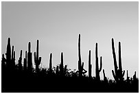 Dense saguaro cactus forest at sunrise near Ez-Kim-In-Zin. Saguaro National Park, Arizona, USA. (black and white)