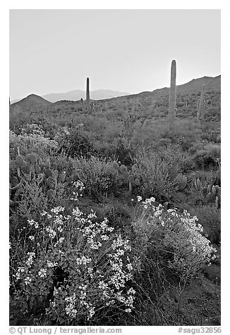 Brittlebush and cactus at sunrise near Ez-Kim-In-Zin. Saguaro National Park (black and white)