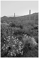 Brittlebush and cactus at sunrise near Ez-Kim-In-Zin. Saguaro National Park, Arizona, USA. (black and white)