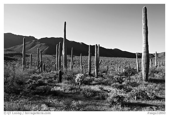 Tall cactus and Tucson Mountains, early morning. Saguaro National Park (black and white)
