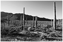 Tall cactus and Tucson Mountains, early morning. Saguaro National Park ( black and white)