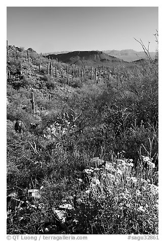 Brittlebush and cactus near Ez-Kim-In-Zin, morning. Saguaro National Park (black and white)