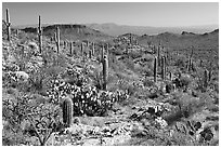 Rocks, flowers and cactus near Ez-Kim-In-Zin. Saguaro National Park ( black and white)