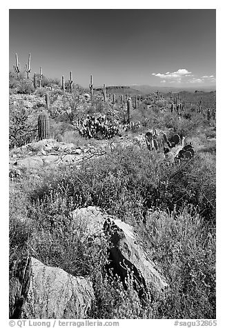 Rocks, flowers and cactus, morning. Saguaro National Park (black and white)
