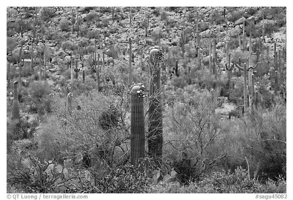 Sonoran desert vegetation in spring. Saguaro National Park (black and white)