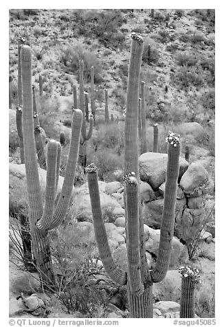 Saguaros (Carnegiea gigantea) in flower. Saguaro National Park (black and white)
