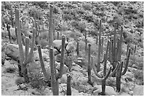 Saguaro cactus with night blooming flowers. Saguaro National Park, Arizona, USA. (black and white)