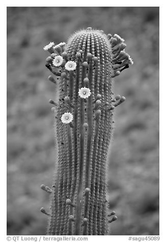 Tip of saguaro arm with pods and blooms. Saguaro National Park (black and white)